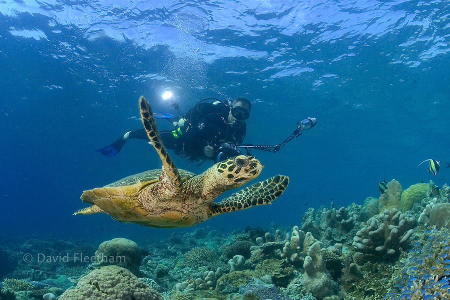 An endangered species, hawksbill turtles, Eretmochelys imbricata, are a common sight around the island of Sipidan.  The diver/photographer is model released.  Malaysia.