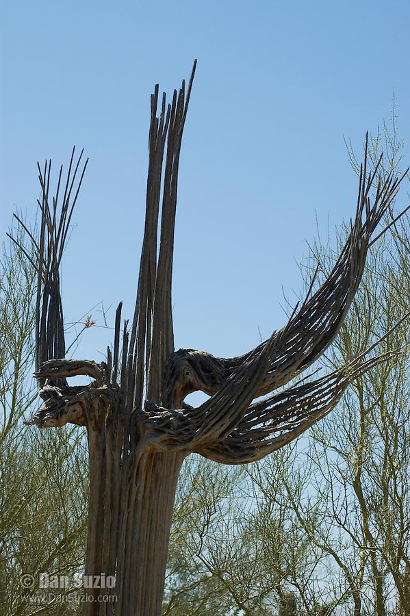 Dead saguaro, Carnegiea gigantea. Arizona-Sonora Desert Museum, Tucson, Arizona