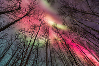 Vibrant red and green aurora borealis above the birch tree forest in Fairbanks, Alaska.
