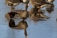 537260006 a wild greater white-fronted goose anser albifrons performs a wing stretch while standing in a small pond with its flock at colusa national wildlife refuge califonia