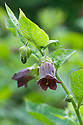 Deadly nightshade (Atropa belladonna), mid June.