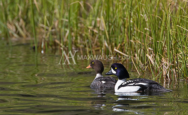 Barrow's goldeneyes are very common in Yellowstone.