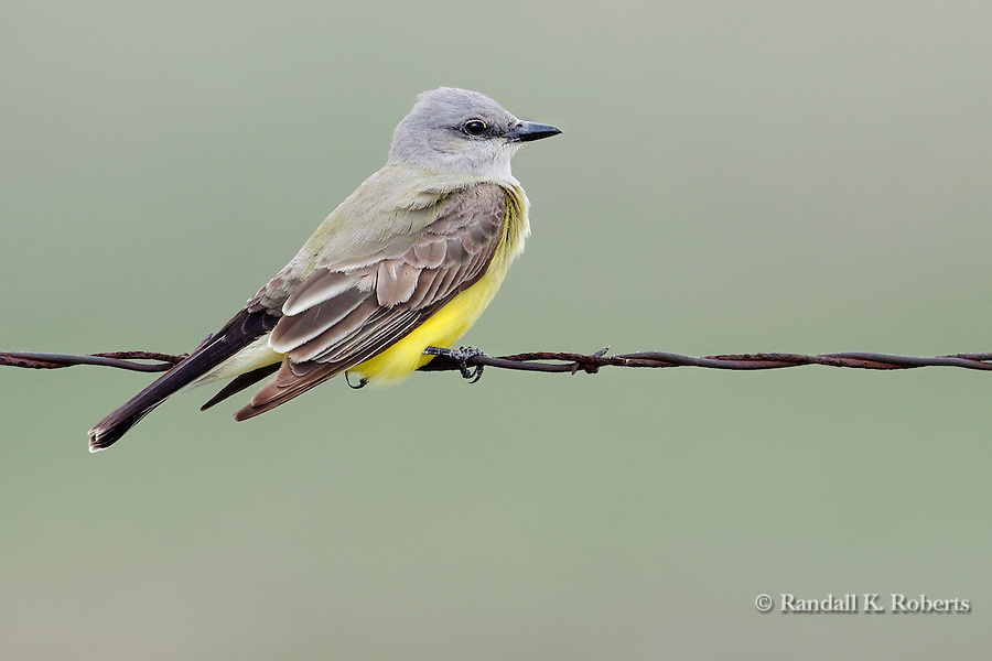 Western Kingbird (Tyrannus verticalis), Pawnee National Grasslands, Colorado