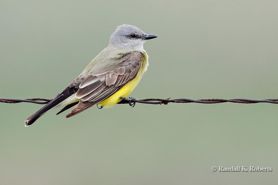 Western Kingbird (Tyrannus verticalis), Pawnee National Grasslands, Colorado