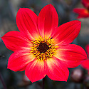 Dahlia 'Happy Single Flame', mid August.