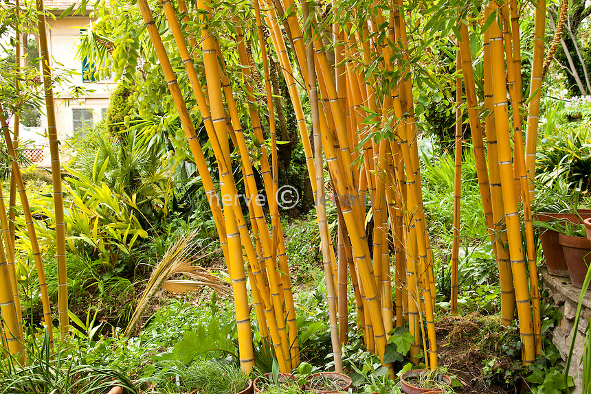 France, Alpes-Maritimes (06), Menton, le Clos du Peyronnet : .bambou (Phyllostachys). Mention obligatoire du nom du jardin & utilisation presse et livre uniquement, accord préalable pour autre usage // France, Alpes-Maritimes, Menton, le Clos du Peyronnet : bamboo (Phyllostachys). Obligatory mention of the garden's name. Only use for press and books, other use require the prior agrees of the owner.