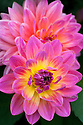 Dahlia 'Ken's Rarity', mid August.