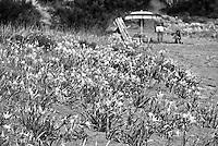 Posto Vecchio - Marina di Salve - Distesa di gigli marini o Pancratium maritimum. E' una pianta bulbosa della famiglia delle Amaryllidaceae che cresce spontaneamente sui litorali sabbiosi. Il Giglio marino vive in riva al mare, dove cresce sulla sabbia delle dune litoranee. Lo troviamo in abbondanza lungo le coste tirreniche e ioniche, comprese le Isole e sulle coste della Riviera Ligure. La pianta raggiunge un'altezza di 50-60 centimetri, presenta foglie di colore verde glauco, rivolte a spirale. I fiori sono grandi ed ermafroditi, i petali sono contenuti in un tubo fiorale stretto e di colore verde. All'estremità superiore,s i formano un imbuto con 6 lacinie bianche bordellate di verde. L'impollinazione avviene tramite gli insetti, mentre i frutti sono delle capsule grandi pochi centimetri che contengono i semi neri. I semi galleggiano in acqua, con questo si spiega la grande diffusione anche via mare. Contengono inoltre la licorina, sostanza velenosa.