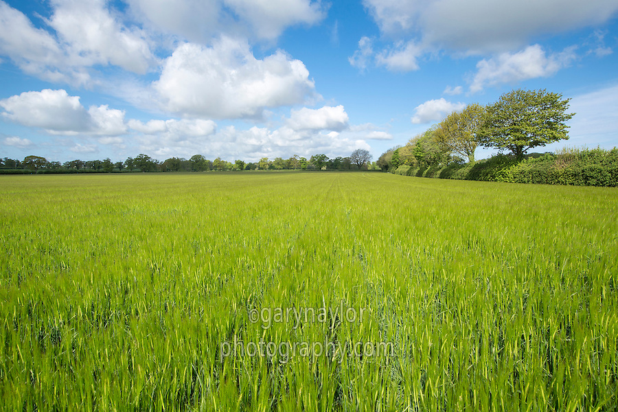 Winter barley in ear - Norfolk, May