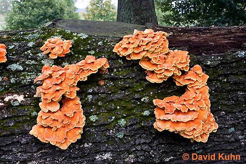 1026-1001  Sulphur Shelf Fungus on Dead Hardwood Tree (Sulphur Polypore, Chicken Mushroom, Chicken of the Woods, Bracket Mushroom), Laetiporus sulphureus  © David Kuhn/Dwight Kuhn Photography