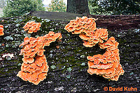 1026-1001  Sulphur Shelf Fungus on Dead Hardwood Tree (Sulphur Polypore, Chicken Mushroom, Chicken of the Woods, Bracket Mushroom), Laetiporus sulphureus  © David Kuhn/Dwight Kuhn Photography