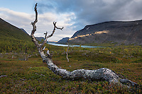Dead birch tree above Lake Kaitumjaure, Kungsleden trail, Lapland, Sweden