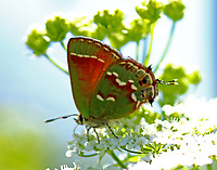Olive Juniper Hairstreak