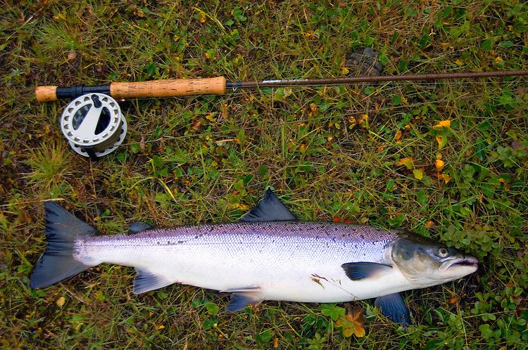 Atlantic Salmon Catch and Release Fly Fishing in Iceland. 7 pound male, caught in Forseti pool, Svalbardsa Thistilfjordur