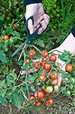 Picking tomatoes ('Koralik'), mid September. When harvesting bush cherry tomatoes it may be easier to cut off the whole truss. Green tomatoes can be ripened indoors or used for chutneys.