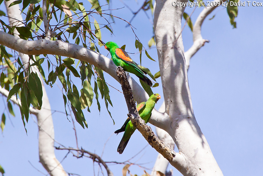 Red-Winged Parrot, Ubirr, Kakadu NP, NT, Australia