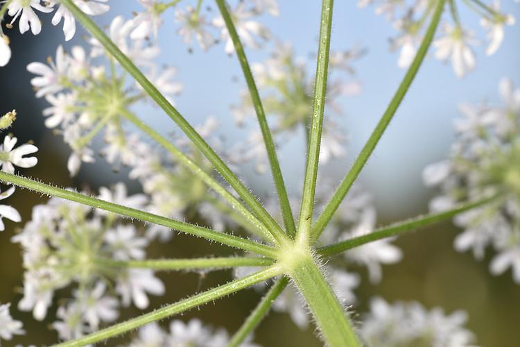 Hogweed - Heracleum sphondylium