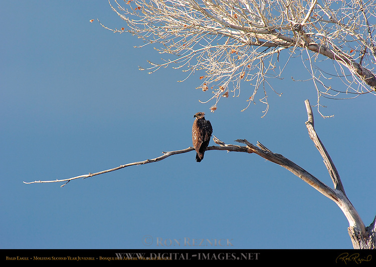 Bald Eagle Molting 2nd Year Juvenile, Bosque del Apache Wildlife Refuge, New Mexico