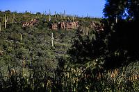 Sahuaros y catus en la monta&ntilde;a.  <br /> Rancho eco tur&iacute;stico El Pe&ntilde;asco en el pueblo Magdalena de Kino. Magdalena Sonora. <br /> &copy;Foto: LuisGutierrrez/NortePhoto