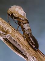 Gemeiner Ohrwurm, Schlupf, Häutung, Forficula auricularia, earwig, common earwig, European earwig, Ohrwürmer, Ohrenschlüpfer, Ohrenhöhler, Ohrenkneifer, Ohrenzwicker, Ohrenkriecher, Dermaptera, Earwigs