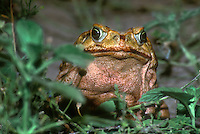 480058006 a wild giant toad bufo marinus sits among green leaves by a pond in the rio grande valley of south texas