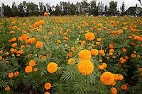 San Juan del R&iacute;o, Qro. 21 octubre 2014.- Buena cosecha se presenta en el municipio de San Juan del R&iacute;o con respecto a la comercializaci&oacute;n de la flor de Cempas&uacute;chil, al lograr al menos 60 surcos de este producto el cual estar&aacute;n comercializando a 500 pesos por surco, inform&oacute; Jos&eacute; Concepci&oacute;n paredes, productor local.<br /> <br /> Coment&oacute; que adicional a este cultivo tambi&eacute;n cuentan con 30 surcos de mano de le&oacute;n y 30 surcos de nube; por lo que al existir las condiciones clim&aacute;tica &oacute;ptimas, en una semana m&aacute;s estar&aacute;n cortando a flor para posteriormente distribuirlas en diversas florer&iacute;as y mercados p&uacute;blicos de la regi&oacute;n, atendiendo San Juan del R&iacute;o, Amealco, Pedro Escobedo, Tequisquiapan y la zona serrana del estado de Quer&eacute;taro.<br /> <br /> Estos cultivos pertenecientes a la comunidad de El Carrizo, son buscados con anticipaci&oacute;n para poder adquirir estas plantas que ser&aacute;n utilizada para el adorno de altares de muertos tanto de manera p&uacute;blica como privada, la cual estar&aacute; dejando una ganancia significativa a los productores locales, quienes est&aacute;n seguros que colocar&aacute;n el cine por ciento de su producto en el mercado local. Foto Eduardo Trejo/ Obture Press Agency