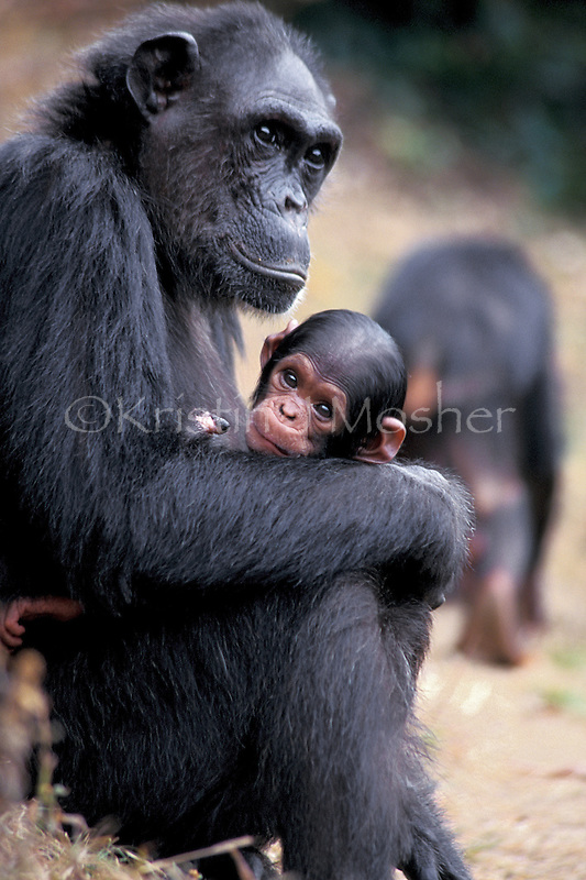 Fifi cradles her newborn daughter, only days old, Flirt.  Female chimpanzee (Pan troglodytes schweinfurthii) Africa, East Africa, Tanzania, Gombe NP.  Jane Goodall Institute/GSRC