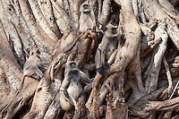 Indian Langur monkeys, Presbytis entellus, in Banyan Tree in Ranthambhore National Park, Rajasthan, Northern India