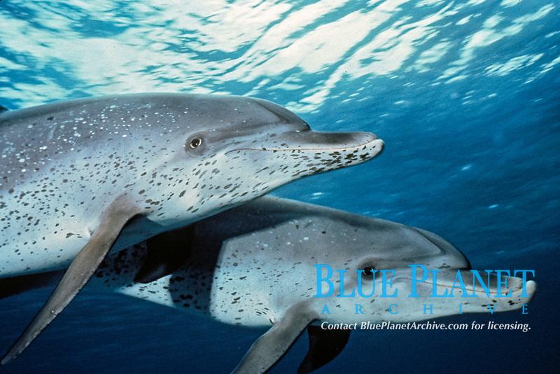 Atlantic spotted dolphins, Stenella frontalis, Bahamas, Caribbean, Atlantic Ocean