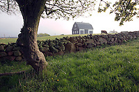 Tree, stone wall, barn and cow on old farm in early morning light. The Mitchell Farm, Corn Neck Road, Block Island, Rhode Island.