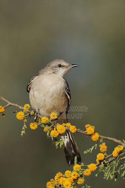 Northern Mockingbird (Mimus polyglottos), adult on blooming Huisache tree (Acacia farnesiana),Dinero, Lake Corpus Christi, South Texas, USA
