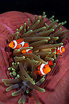 False clownfish, Amphiprion ocellaris, in a balled up magnificent anemone, Heteractis magnifica, Cannibal Rock, Komodo National Park, Indonesia, Pacific Ocean in a balled up magnificent anemone, Cannibal Rock, Komodo National Park, Indonesia, Pacific Ocean