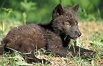 Timber or Grey Wolf, Canis lupus, Minnesota, captive, black young 7 week old cub in the undergrowth, summer.USA....