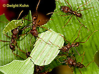 AN14-513z  Leafcutter Ants carrying leaves to nest, Atta mexicana
