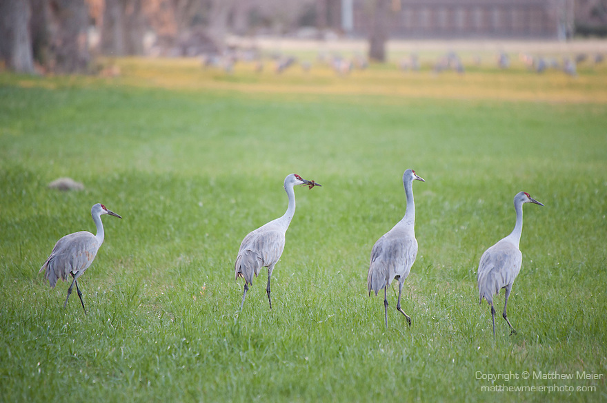 Columbia Ranch, Brazoria County, Damon, Texas; four Sandhill Cranes (Grus canadensis) walking in a field of green grass in late afternoon