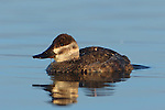 Ruddy Duck Hen