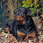 Rottweiller<br />