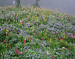 Mount Rainier National Park, WA:   Heavy dew and mist blanket a meadow of alpine wildflowers including lupine, western anemone and paintbrush