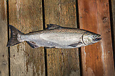 ALASKA, Ketchikan, one of the fish caught on a trip to Behm Canal near Clarence Straight, Knudsen Cove along the Tongass Narrows