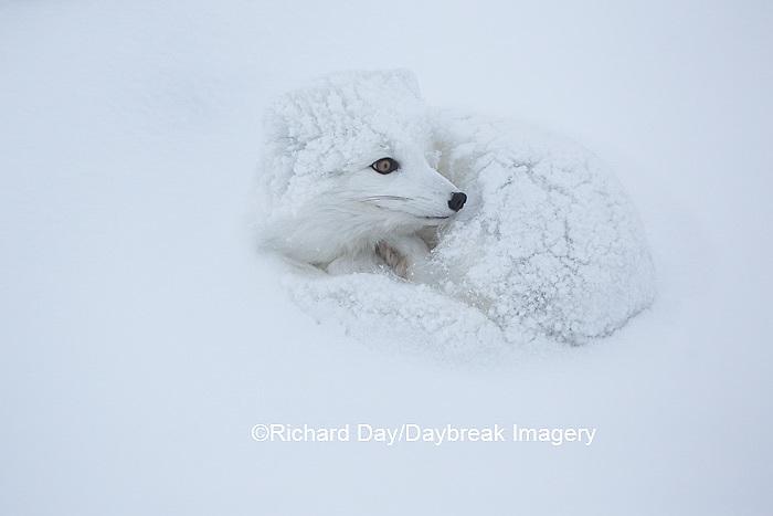 01863-01706 Arctic Fox (Alopex lagopus) in winter, Churchill Wildlife Management Area, Churchill, MB