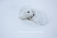 01863-01706 Arctic Fox (Alopex lagopus) in winter, Churchill Wildlife Management Area, Churchill, MB