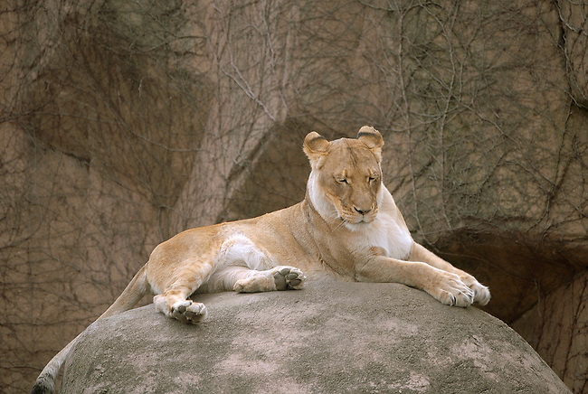 A Lioness rests on a rock perch at Lincoln Park Zoo