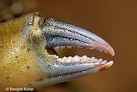 1Y34-023z  Green Crab - close-up of claw - Carcinus maenus