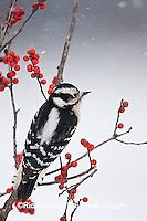 01206-033.01 Downy Woodpecker (Picoides pubescens) female in Common Winterberry (Ilex verticillata) in winter, Marion Co. IL