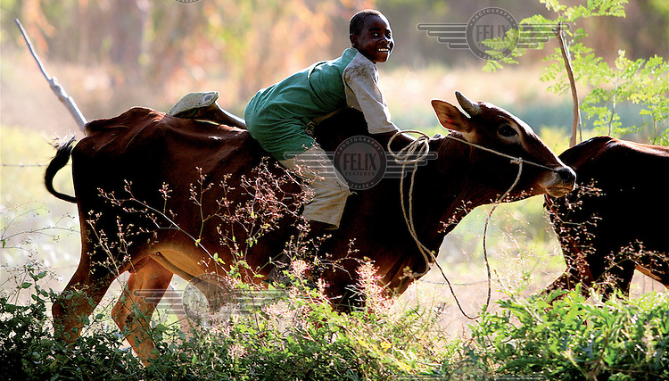 A boy sits on the back of a cow as he herds cattle.