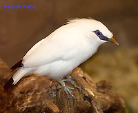 1113-0803  Bali Starling (Bali Mynah), Critically Endangered Bird, Leucopsar rothschildi © David Kuhn/Dwight Kuhn Photography