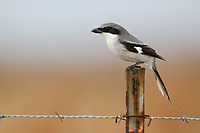 Loggerhead Shrike (Lanius ludovicianus) hunting from a fence post on the coastal prairie of Louisiana. Cameron Parrish, Louisiana. December.