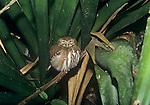 Ferruginous Pygmy-Owl (Glaucidium brasilanum), Belize, Central America.