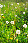 a grass-top view of yellow dandelion flowers and puffy white seed heads in a field of meadow grass