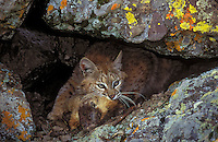 BOBCAT with Yellow Bellied Marmot in lichen covered cliffs. Autumn. Rocky Mountains. (Felis rufus).